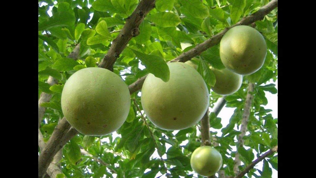 Crescentia Cujete – Definition, Features, Uses and Medicinal Properties