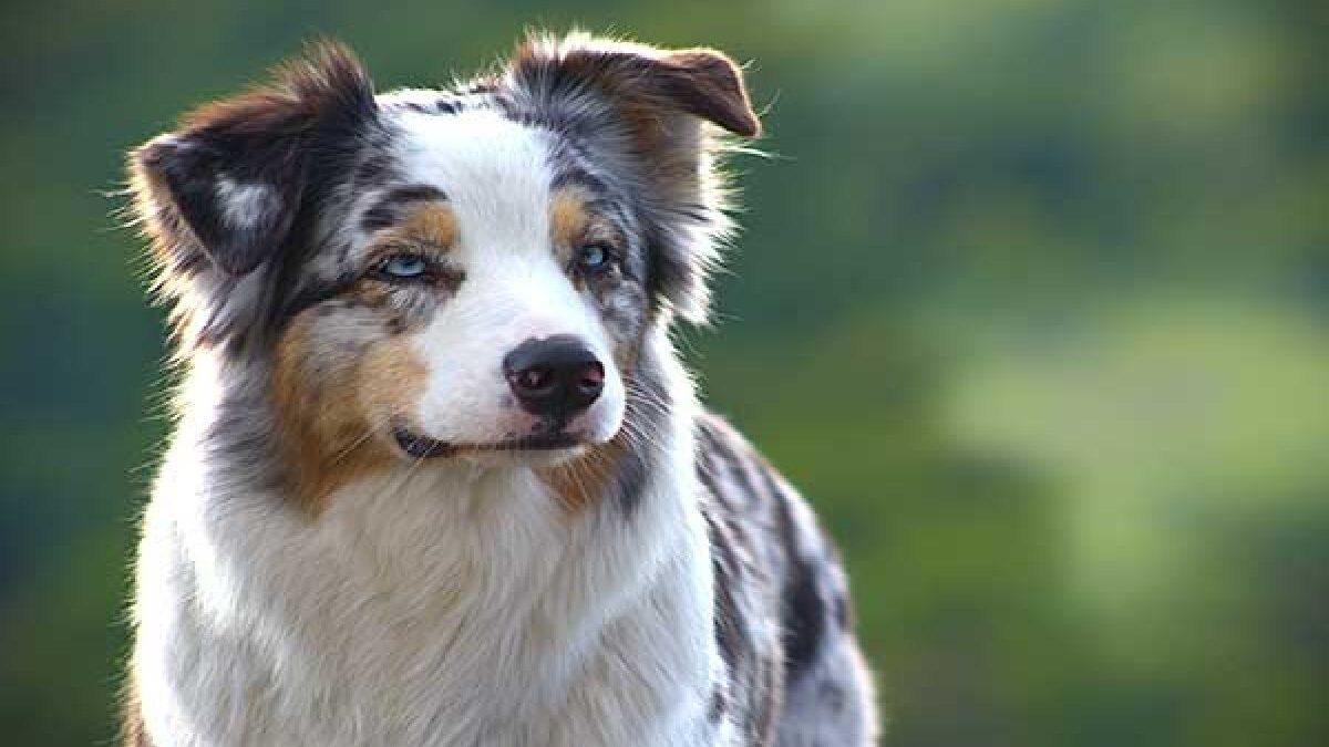 How To Care And Train Australian Shepherd Dog Breeds?